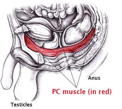 illustrerad bild av PC-muskeln som kan tränas för att förhindra för tidig utlösning